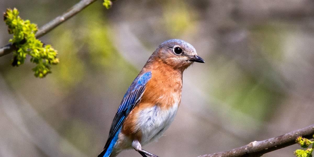 Photograph of a bluebird on a limb